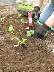 brocolli and kale growing in deep dug raised beds