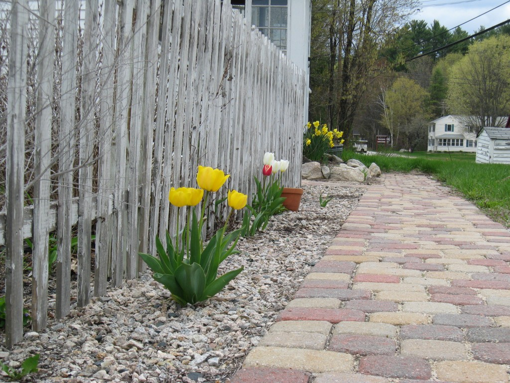 Tulips Along the Walkway
