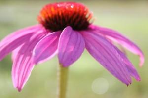 Echinacea - Purple Cone Flower