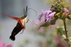 Hummingbird Moth Hovering Near a Flower