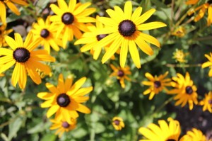 Rudbeckia - Black Eyed Susan Flower