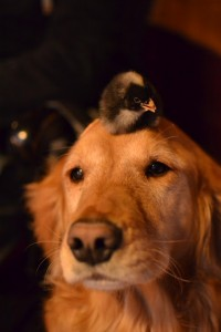 Piper With Chicks on Her Mind