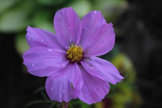 Purple Cosmos (Cosmos Asteraceae)