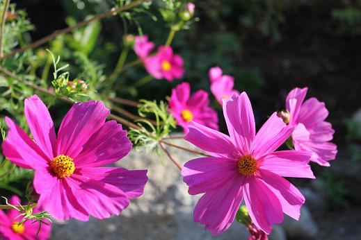 Pink Cosmos (Asteraceae)