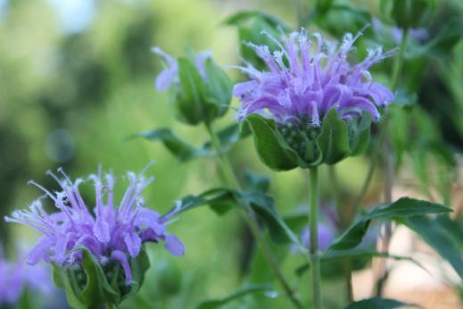 Purple Monarda (Fistulosa)