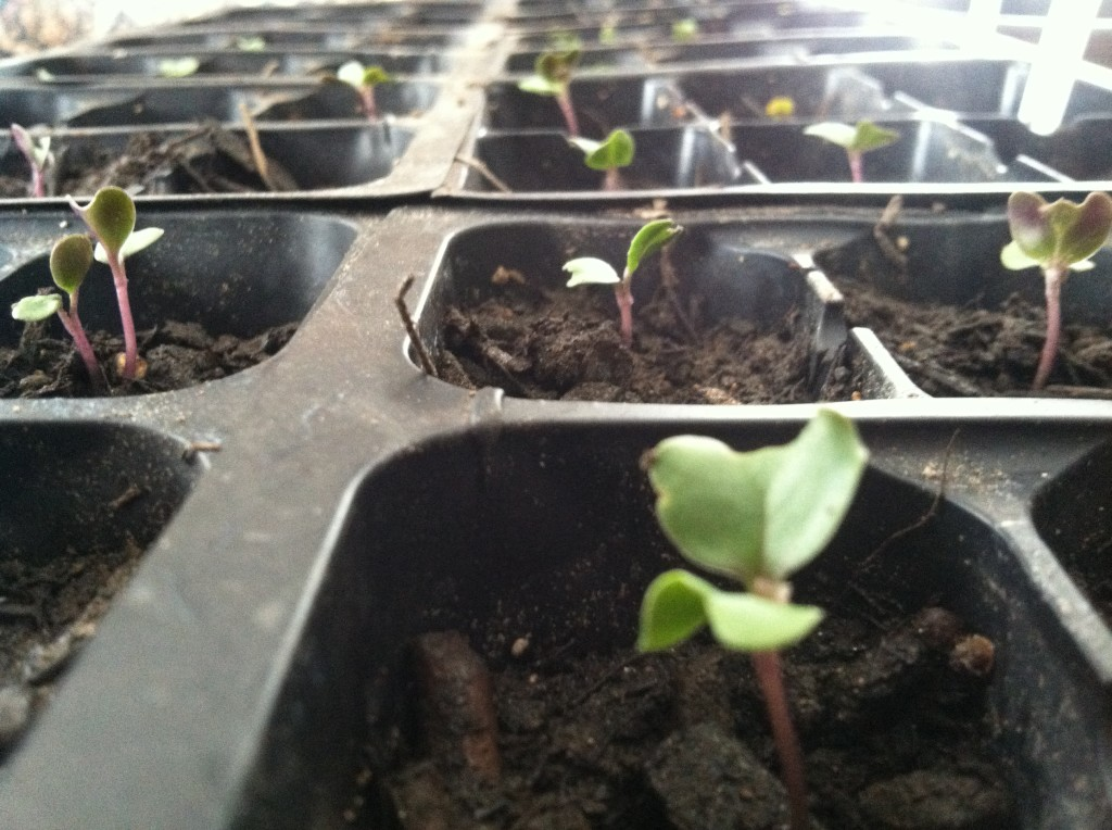 Sprouting Seedlings